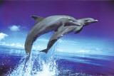 Delfine – Springen Poster