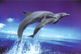 Dolphins - Leap - Poster