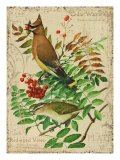 Cedar Waxwing Reproduction proc&#233;d&#233; gicl&#233;e par Kate Ward Thacker