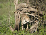 Cheetah Cubs Climbing a Tree, Ndutu, Ngorongoro, Tanzania Photographic Print