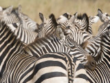 Burchell&#39;s Zebras in a Forest, Tarangire National Park, Tanzania Photographic Print