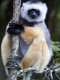 Diademed Sifaka Sitting on a Branch, Lemur Island, Madagascar Photographic Print