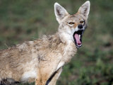 Close-Up of a Golden Jackal, Ndutu, Ngorongoro, Tanzania Photographie