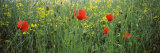 Poppies Blooming in Oilseed Rape Field, Baden-Wurttemberg, Germany Photographic Print by  Panoramic Images