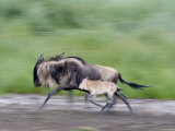 Newborn Wildebeest Calf Running with its Mother, Ndutu, Ngorongoro, Tanzania Photographic Print