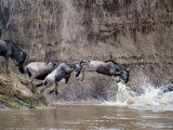 Wildebeests Crossing a River, Mara River, Masai Mara National Reserve, Kenya Photographic Print