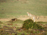 Cheetah in a Forest, Masai Mara National Reserve, Rift Valley Province, Kenya Photographic Print
