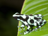 Close-Up of a Green and Black Poison Dart Frog on a Leaf, Costa Rica Photographic Print