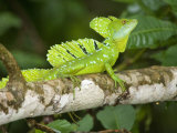 Close-Up of a Plumed Basilisk on a Branch, Costa Rica Photographic Print