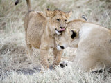 Lion Cub Playing with its Mother in a Forest, Ngorongoro Crater, Ngorongoro, Tanzania Photographic Print