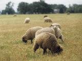 Flock of Free Range Sheep Grazing in a Field, Corvallis, Oregon Photographic Print