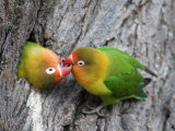 Close-Up of a Pair of Lovebirds, Ndutu, Ngorongoro, Tanzania Papier Photo