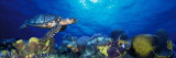 Hawksbill Turtle and French Angelfish with Stoplight Parrotfish Lámina fotográfica por Panoramic Images,