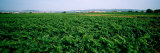 Vine Crop in a Field, Vilafranca Del Penedes, Catalonia, Spain Photographic Print by  Panoramic Images