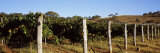 Grape Vines in a Vineyard, Mount Majura Vineyard, Canberra, Australia Photographic Print by  Panoramic Images
