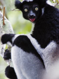 Close-Up of an Indri Lemur, Andasibe-Mantadia National Park, Madagascar Photographic Print