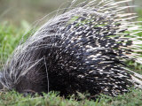 Close-Up of a Porcupine, Ndutu, Ngorongoro, Tanzania Photographic Print