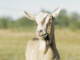 Close-Up of a Goat, Goat Cheese Farm, Vancouver, Washington Photographic Print