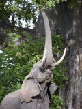 African Elephant Reaching for Baobab Tree Leaves, Tarangire National Park, Tanzania Photographic Print