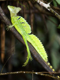 Close-Up of a Plumed Basilisk, Costa Rica Photographic Print
