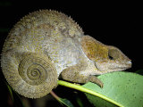 Close-Up of a Madagascan Chameleon, Madagascar Photographic Print