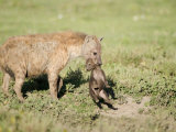 Close-Up of a Hyena Holding its Cub Near a Den, Ndutu, Ngorongoro, Tanzania Photographic Print