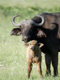 Cape Buffalo with its Calf in a Field, Lake Nakuru National Park, Kenya Photographic Print