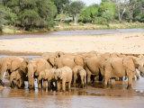 Herd of African Elephants Drinking Water, Uaso Nyiro River, Samburu National Park, Kenya Photographic Print
