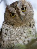 African Scops Owl Perching on a Branch, Tarangire National Park, Tanzania Photographic Print