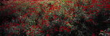 Poppy Flowers in a Field, Sangzor, Uzbekistan Photographic Print by  Panoramic Images