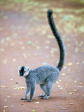 White-Headed Lemur Standing in a Forest, Berenty, Madagascar Photographic Print