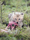 Cheetah Cub Eating a Dead Animal, Ndutu, Ngorongoro, Tanzania Photographic Print