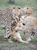 Cheetah Cubs Eating a Dead Thomson's Gazelle, Ndutu, Ngorongoro, Tanzania Photographic Print