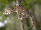 Close-Up of a Leaf-Tailed Gecko, Andasibe-Mantadia National Park, Madagascar Photographic Print