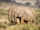 African Elephants in a Forest, Samburu National Park, Rift Valley Province, Kenya Photographic Print