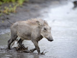 Warthog Crossing a Stream, Tarangire National Park, Tanzania Photographic Print