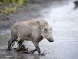 Warthog Crossing a Stream, Tarangire National Park, Tanzania Photographic Print