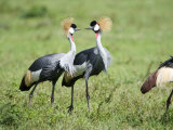 Grey Crowned Cranes in a Field, Ngorongoro Crater, Ngorongoro, Tanzania Photographic Print