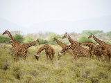 Reticulated Giraffes Grazing in a Field, Samburu National Park, Rift Valley Province, Kenya Photographic Print