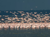 Greater Flamingos with Lesser Flamingos in Flight, Lake Nakuru, Lake Nakuru National Park, Kenya Photographic Print