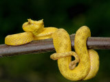 Close-Up of an Eyelash Viper, Arenal Volcano, Costa Rica Fotografie-Druck