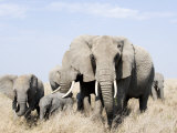 African Elephants in a Forest, Serengeti, Tanzania Fotografisk tryk