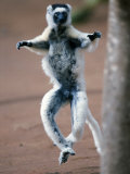 Verreaux&#39;s Sifaka Dancing in a Field, Berenty, Madagascar Photographic Print