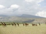 Masai Giraffes in a Forest, Lake Manyara, Tanzania Photographic Print