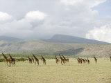 Masai Giraffes in a Forest, Lake Manyara, Tanzania Photographic Print