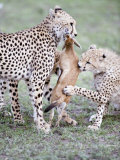 Cheetah Cubs Eating a Dead Thomson's Gazelle, Ndutu, Ngorongoro, Tanzania Photographic Print