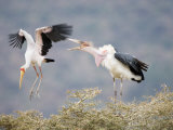 Yellow-Billed Stork and a Marabou Stork Fighting over a Perch, Lake Manyara, Tanzania Photographic Print
