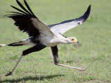 Secretary Bird Running in a Forest, Ndutu, Ngorongoro, Tanzania Photographic Print