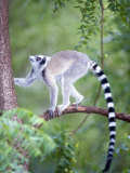 Ring-Tailed Lemur Climbing a Tree, Berenty, Madagascar Photographic Print