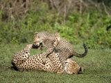 Cheetah Cub Playing with its Mother, Ndutu, Ngorongoro, Tanzania Photographic Print
